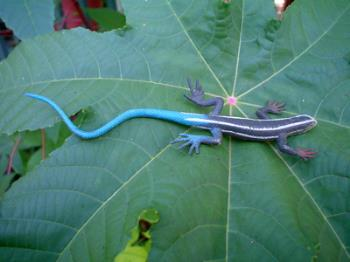 blue tailed lizard - blue tailed lizard