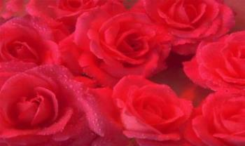 Roses - Red Roses