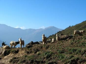 The Himalayas - Mountain goats on the slopes of the Himalayas..