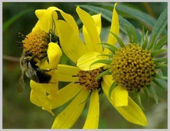 Bee Rudbeckia - Bee Rudbeckia