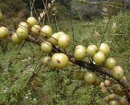fruit amla - INDIAN GOOSE BERRY