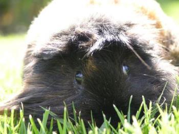 Guinea pig - Guinea pig photo