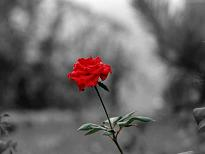 RED ROSE..!! - the symbol of love..!!