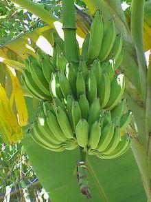 banana tree - banana