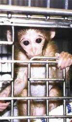 Caged Monkey - This picture makes me so sad. I hate to see any animal caged like this. It must feel like such a prison to them.