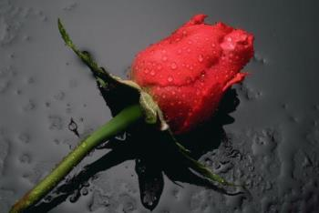 thank you - nothing more fitting than a rose to say how much u were useful and kind