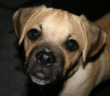 this is a puggle  - arent they just so damn cute ..