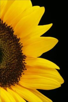 The Yellow Of The Sunflower - Sunflower