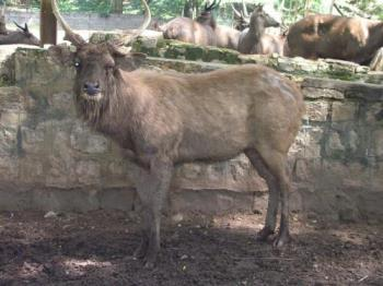 Sambar at Mysore Zoo - photographed at Mysore zoo