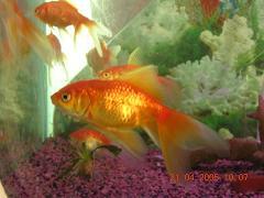 gold fish in aquarium - Photographed at Mysore Acquarium