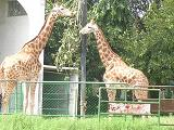 giraffes - Photographed at Mysore zoo