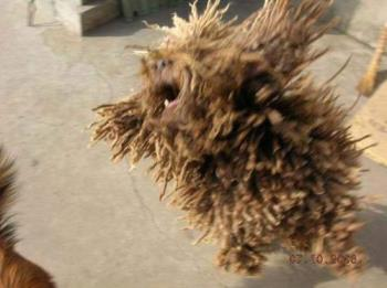 Weird  Brush like looking dog. - Breed is called Rastafarian...if u know...its covered with hair all over.