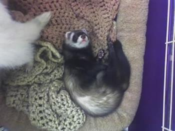 ferrets - our ferets sleeping.