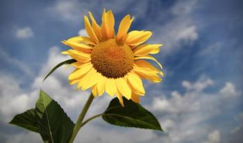 sunflower - sunflower