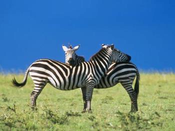 zebra - a pair of zebra