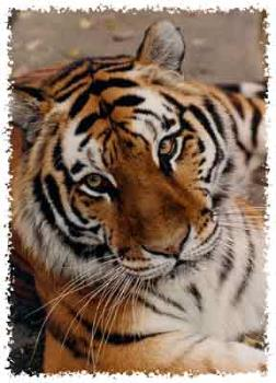Tiger at the zoo. - Here is a Tiger that I saw at our zoo.