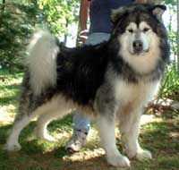 Alaskan Malamute - A picture of one of my favorite kinds of dogs.