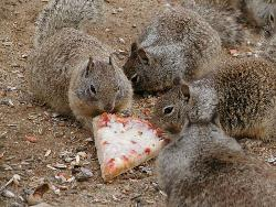 Squirrls Eating Pizza