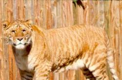 Lyger - A Mix Between A Lion And A Tiger