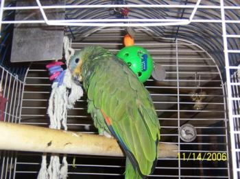 Mike - Amazon parrot--- the potty mouth!