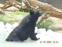 bear - Photographed at Mysore, India