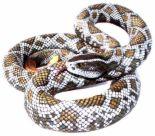 RATTLE SNAKE - i'm scared of snakes.......