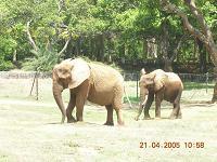 elephants - Photographed at Mysore zoo, India