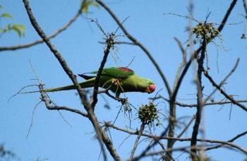 wild parakeet at kaziranga - alexendria parakeet at kaziranga world heritage site