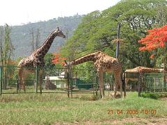 giraffes at Mysore zoo - Photographed at Mysore zoo