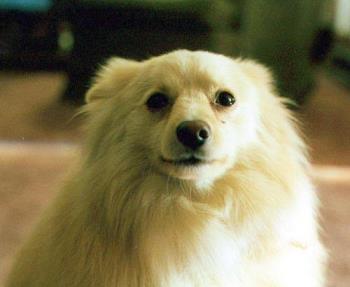 pomeranian dog - pomeranian dog tuffy