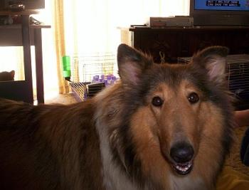 Lassie (our Dog) - This is a picture of our dog Lassie. She's a five year old collie.