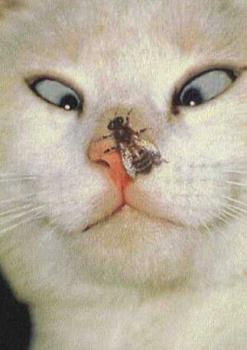 cross-eyed-cat-fly-on-nose - cross eyed cat, fly on nose