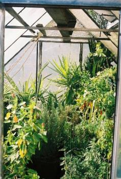 greenhouse - this is my old greenhouse will have pictures of the new one soon