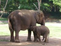elephant with baby - photographed at Mysore zoo
