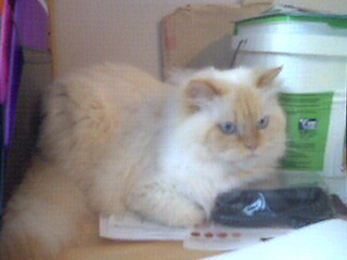 my cat, Sheldon - Here's a picture of my pet Himalayan cat, Sheldon.  Isn't he a puffy sweetie?