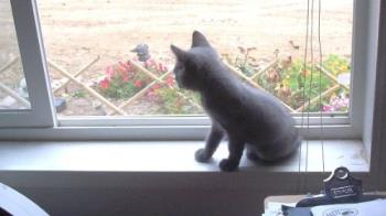 a cat wit no tail - Manx