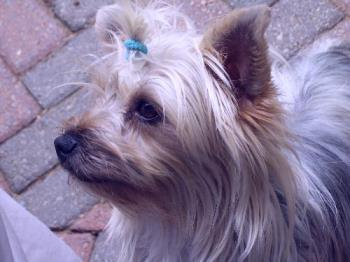 Savannah - Our Little Yorkie