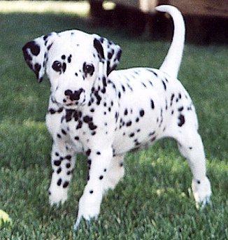 Dalmatian - Dalmatian