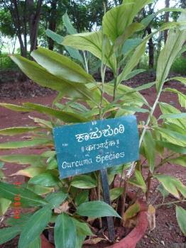 Ginger plant  - Photographed at Ayurvedic farm near Mangalore.