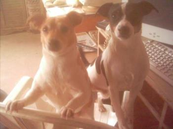 Millie Marie and Blacktail - rat terriers