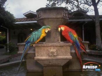 parrots - two parrots
