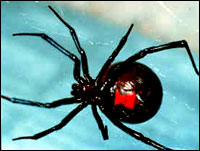 Black Widow Spider - BWS