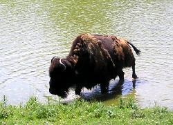 Buffalo - Zoo