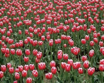 flower for ur sucess - flower