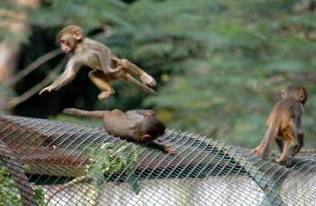 Monkey siblings at my city - assamese macquaque in play at guwahati,assam,india