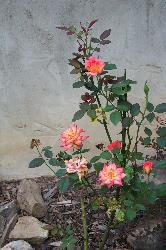 My mini roses - This is my mini rose bush.  It has a yellow center and darker pink along the edges of the petals.