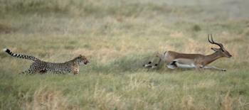 running after prey - cheetah running after pray!