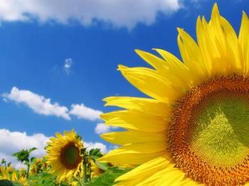 sunflower - Great sunflower