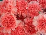 hai - hai flowers
