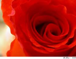 Red Rose - A Picture Of A Red Rose